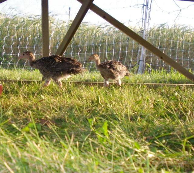 Pastured Turkeys
