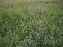 Hay Field Sept