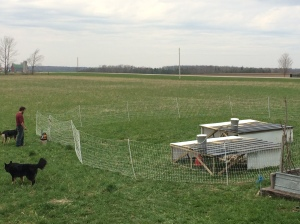1st chickens this year are now out on pasture!